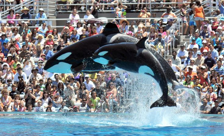 An undated photo showing the orca performances in San Diego SeaWorld.